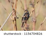 common reed bunting. cute... | Shutterstock . vector #1156704826