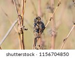 common reed bunting. cute... | Shutterstock . vector #1156704850