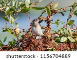 whinchat young sitting on bush. ... | Shutterstock . vector #1156704889
