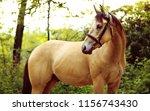 golden quarter horse with...   Shutterstock . vector #1156743430