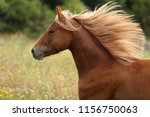 Stock photo beautiful brown horse welsh pony running with long mane galloping horse equine portrait 1156750063
