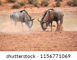 Small photo of Two wildebeest fight in a dust bowl at a wildlife reserve in South Africa.