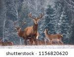Deer   Cervus Elaphus   In The...