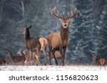 Two Deer , Male Beast & Female, Against The Background Of The Winter Blue Forest And Silhouettes Of The Herd. Manful Stag With Beautiful Horns Looks Directly At You, Doe Standing In A Half-Turn.