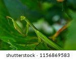 green mantis is posing in... | Shutterstock . vector #1156869583