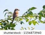 red backed shrike  lanius... | Shutterstock . vector #1156873960