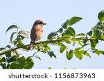 red backed shrike  lanius... | Shutterstock . vector #1156873963