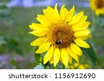 Sunflower. Bumblebee Sitting O...