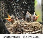 Three Baby Birds Chicks With...