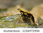 salamandra salamandra... | Shutterstock . vector #1156972900