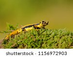 salamandra salamandra... | Shutterstock . vector #1156972903