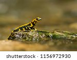 salamandra salamandra... | Shutterstock . vector #1156972930