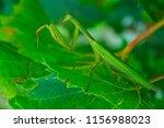green mantis is posing in... | Shutterstock . vector #1156988023