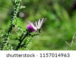 The Scarce Swallowtail It Is...