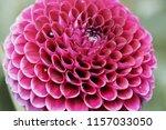 botanical flower  beautiful and ... | Shutterstock . vector #1157033050