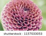 botanical flower  beautiful and ... | Shutterstock . vector #1157033053
