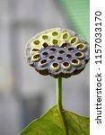botanical flower  beautiful and ... | Shutterstock . vector #1157033170