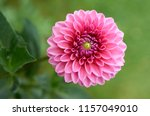 Pink Dahlia Flower In Real...
