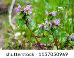 purple wildflowers known as... | Shutterstock . vector #1157050969