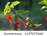 red currant on branch | Shutterstock . vector #1157073460