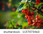 red currant on branch | Shutterstock . vector #1157073463