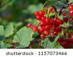 red currant on branch | Shutterstock . vector #1157073466