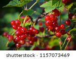 red currant on branch | Shutterstock . vector #1157073469