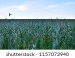 oats green field. taken from... | Shutterstock . vector #1157073940