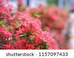 beautiful spike flower blooming ... | Shutterstock . vector #1157097433