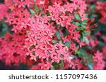 beautiful spike flower blooming ...   Shutterstock . vector #1157097436