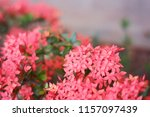 beautiful spike flower blooming ... | Shutterstock . vector #1157097439