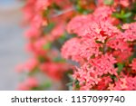 red ixora flowers blossom in a... | Shutterstock . vector #1157099740