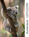 The Joey Koala Is Climbing Up ...