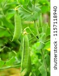 pea pods in the ripening... | Shutterstock . vector #1157118940