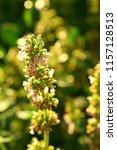 flowering melissa. lemon mint... | Shutterstock . vector #1157128513