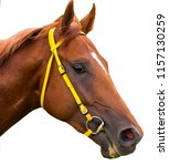 Stock photo portrait of a thoroughbred horse on a white background 1157130259