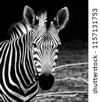 beautiful african zebra.... | Shutterstock . vector #1157131753
