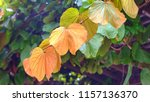 ivy leaves on the garden arch. | Shutterstock . vector #1157136370