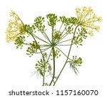 fresh dill flowers on white...   Shutterstock . vector #1157160070