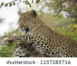 leopard lying in a tree in the... | Shutterstock . vector #1157285716