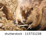 North American Beaver Repairin...