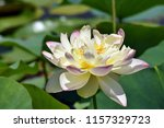 the white pink lotus blossomed ... | Shutterstock . vector #1157329723