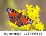 the european peacock  aglais io ... | Shutterstock . vector #1157349883