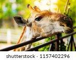 Giraffe Zoo Concept Close Up - Fine Art prints