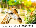 Giraffe Zoo Concept Close Up - Fine Art prints