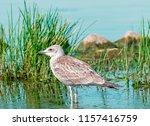 single gray seagull bird... | Shutterstock . vector #1157416759