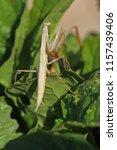 brown praying mantis or mantid... | Shutterstock . vector #1157439406