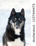 siberian husky male of aguti... | Shutterstock . vector #1157444473