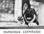 close up portrait of puppy... | Shutterstock . vector #1157451310