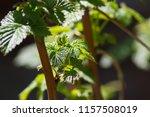 bush raspberry beautiful green... | Shutterstock . vector #1157508019
